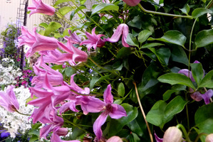Clematis 'Duchess of Alban' z grupy Texensis