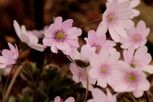 Hepatica x  media 'Kilmeston Beauty'