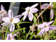 Ipheion uniflorum 'Tessa'