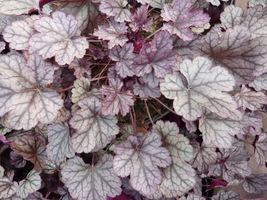 "Heuchera ""Prince of Silver"""